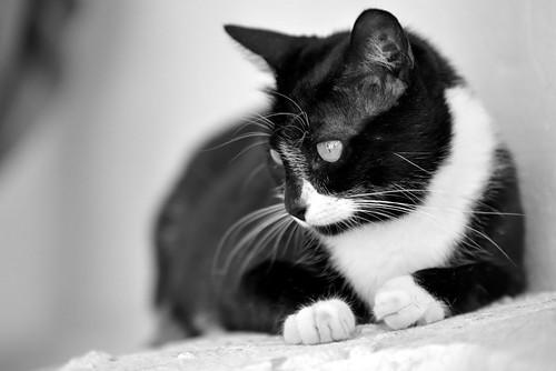 Gitana, gata blanquinegra dulce y tranquila esterilizada, nacida en Febrero´14, en adopción. Valencia. ADOPTADA. 29321625282_be7e9bee02