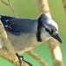 Blue Jay 2-20121016