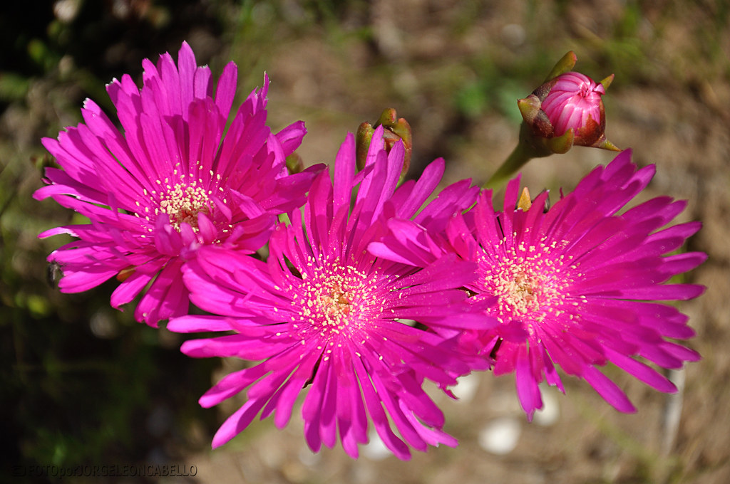 Flores de primaveraRayitos de sol Las Cruces Chile Flickr