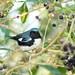 Black-throated Blue Warbler 2-20121022