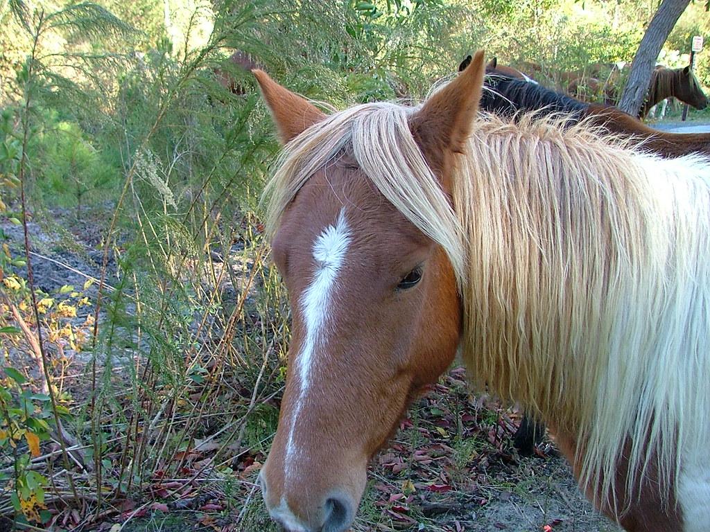 Chincoteague ponies after Hurricane Sandy (VA ...