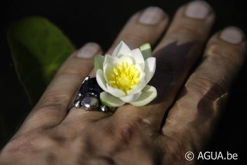 Waterlelie tetragona / Nymphaea tetragona