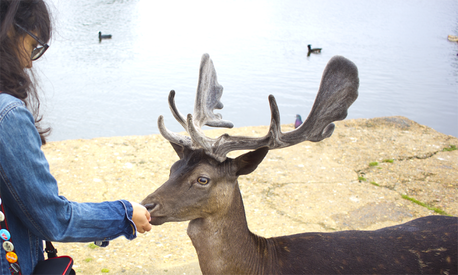 picnic, Bushy Park, London parks, london park, deer park, deer at bushy park, deer bushy park london
