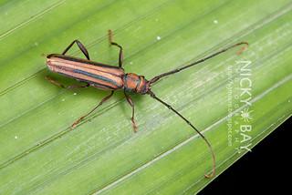 Longhorn Beetle (Xystrocera globosa) - DSC_7493