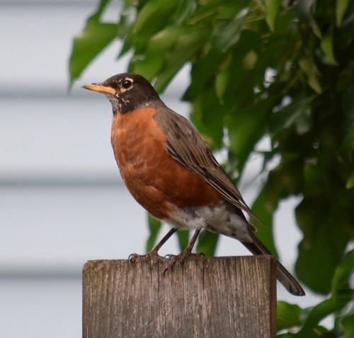 Our neighbor, the American Robin