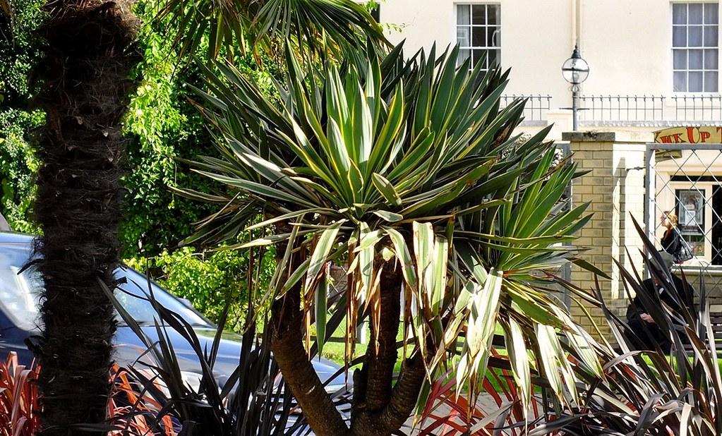 yucca gloriosa variegata torquay town centre photographs. Black Bedroom Furniture Sets. Home Design Ideas