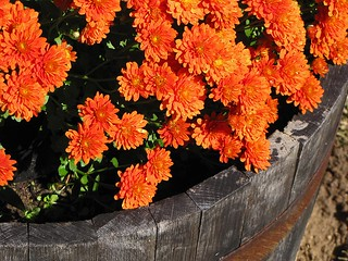 Top view of mums | by scott1346