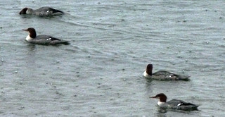mergansers | by rhwalker22