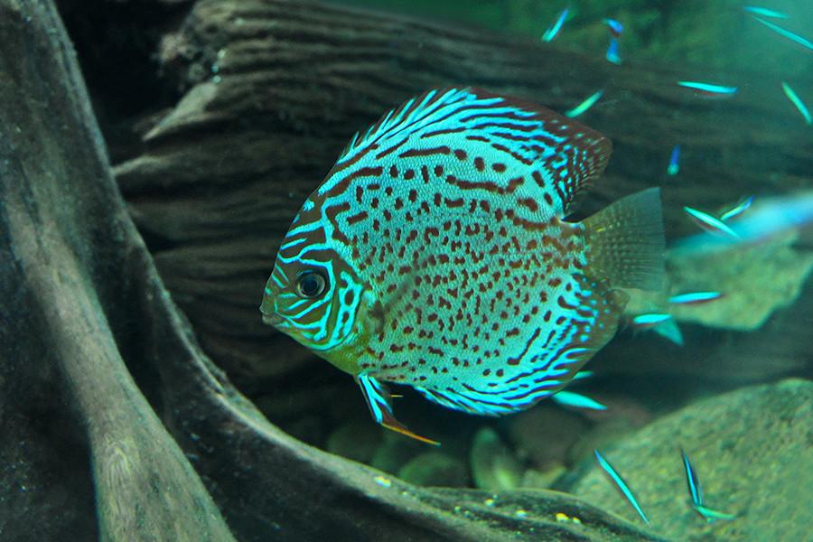 Dallas green discus fish symphysodon aequifasciatus for Blue fish dallas
