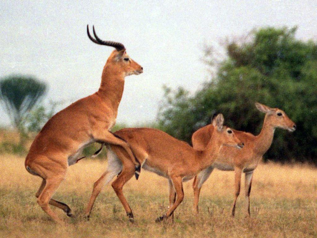 Uganda kob 5 | Kobus kob thomasi - Uganda Kob courtship ...