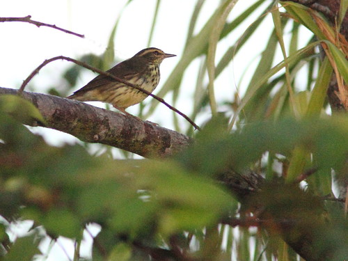 Northern Waterthrush 20121020 | by Kenneth Cole Schneider