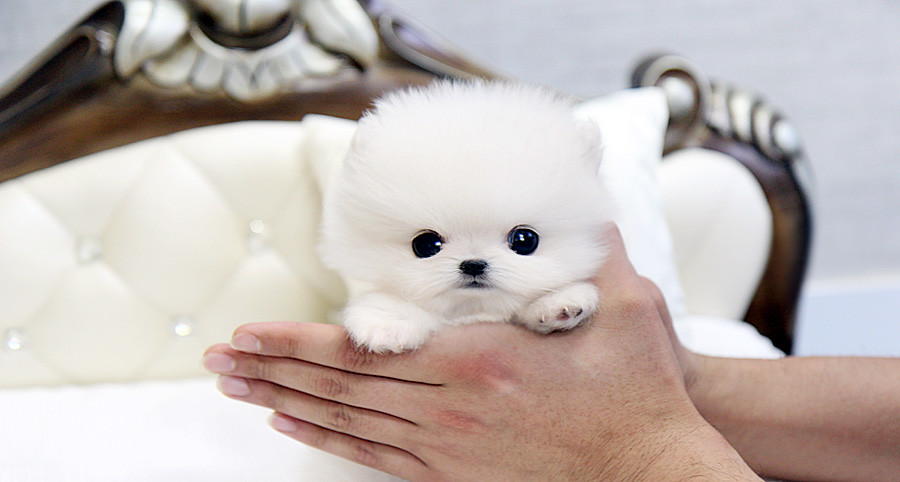 Beautiful Teacup Pomeranian Puppy The Cutest The Tinnest