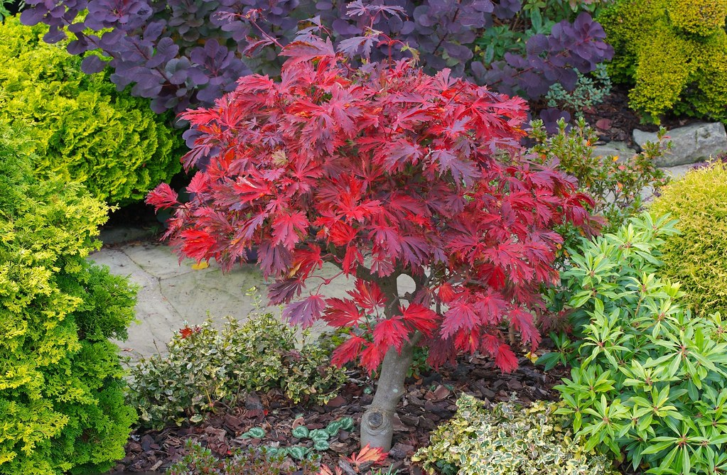 crimson red autumn leaves of acer japonicum aconitifolium. Black Bedroom Furniture Sets. Home Design Ideas
