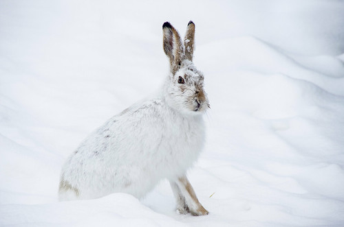 Jackrabbit Snow | by djking