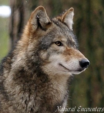 A study on grey wolves