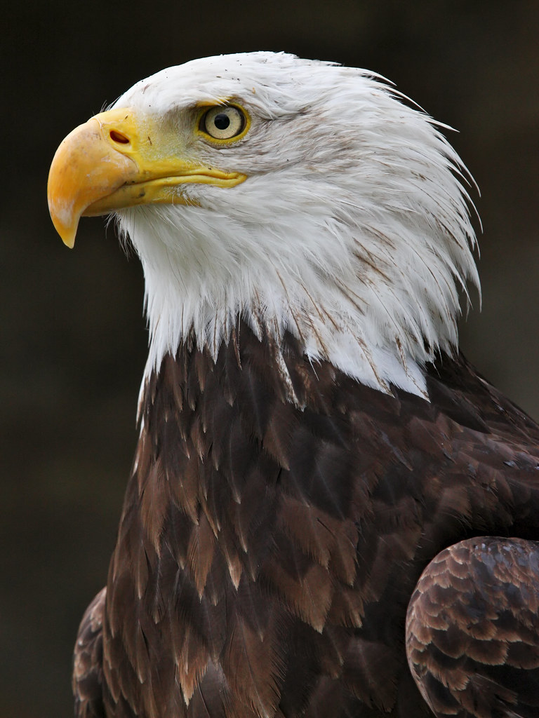 The American Symbol Bald Eagle Gallery And Prints