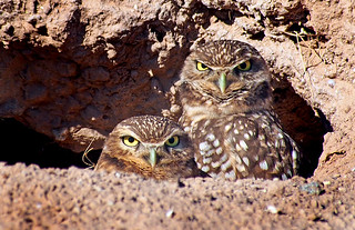 Burrowing Owl Chicks | by MistyDaze