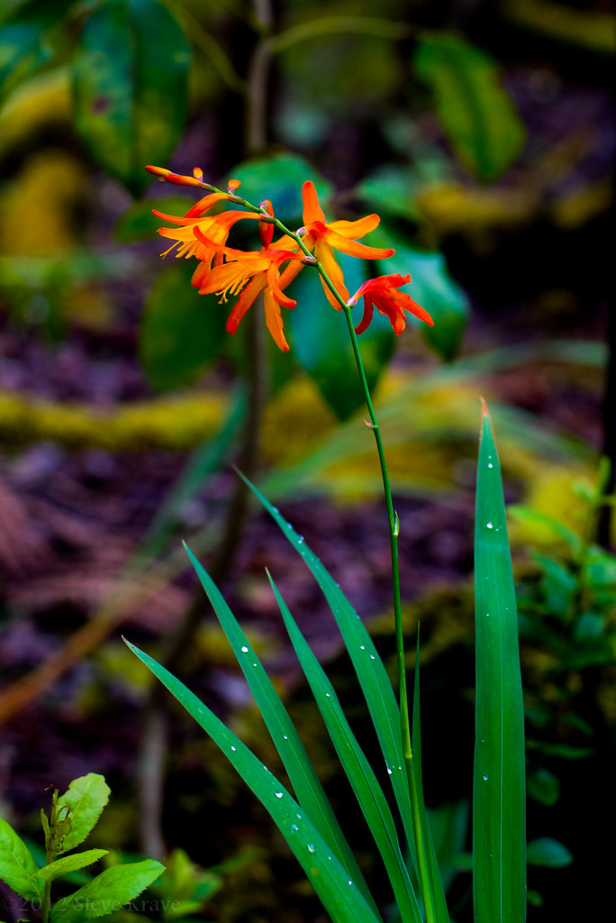 Orange Flowers Pretty Orange Flowers By The Thurston Lava