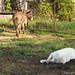 Daisy on donkey guard dog duty (11) - FarmgirlFare.com