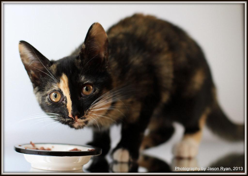 Short Haired Calico Kittens American Short Hair Calico