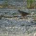 Common Ground-Dove 20121012
