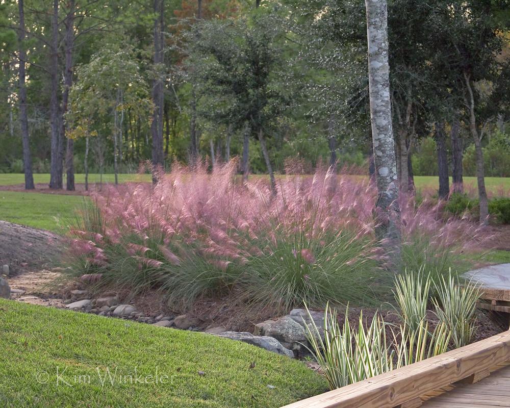 Dwarf muhly grass muhlenbergia capillaris kim winkeler for Pink decorative grasses