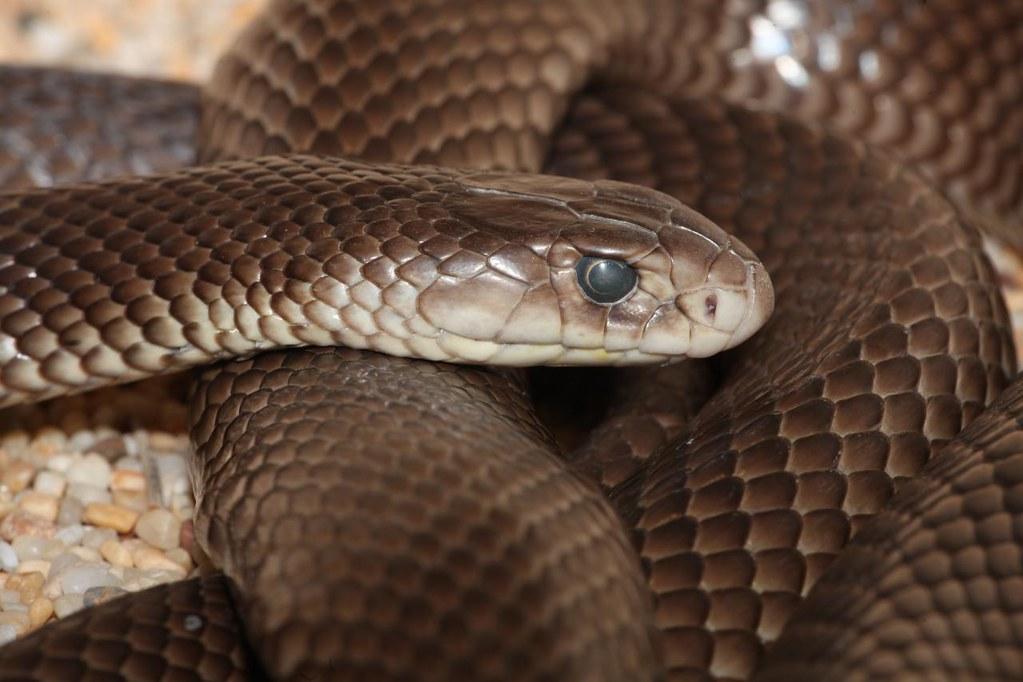 Eastern Brown Snake (Pseudonaja textilis), Alice Springs R