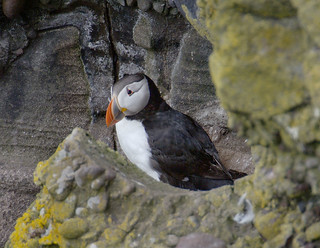 D15544 Atlantic Puffin | by Nick Sidle