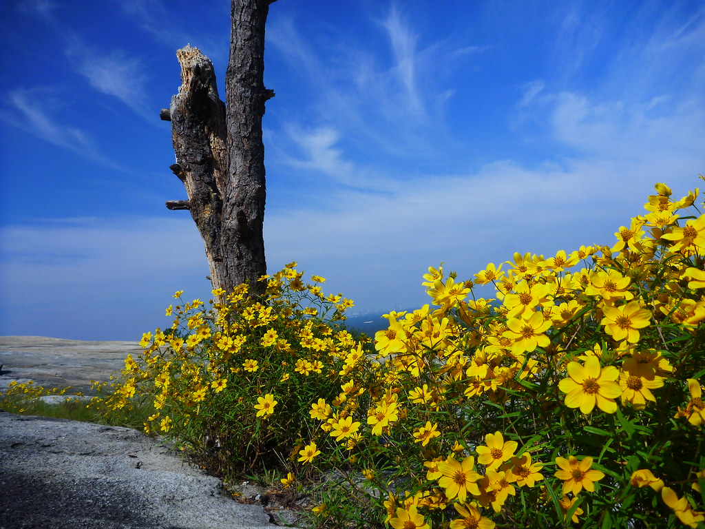 Stone Mountain Yellow Daisy The Quot Confederate Daisy Quot Or