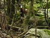 Mouflon dans la traversée du Valdu Grande
