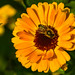 Honeybee on Gerbera