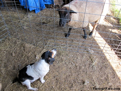 Beagle Bert, junior stock dog (2) | by Farmgirl Susan