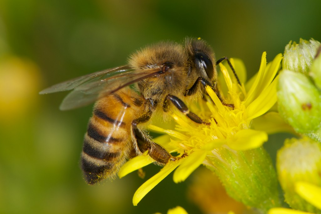 Risultati immagini per apis mellifica