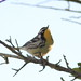 Yellow-throated Warbler 2-20121022
