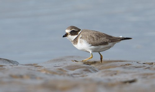 37561  Ringed Plover at Thornham | by Brandon birder