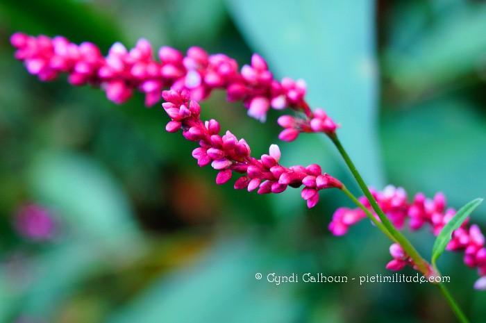 Pink wild flower weed this is growing in my backyardi flickr pink wild flower weed by ccalhoun10 mightylinksfo