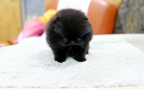 high quality teacup black pomeranian puppy