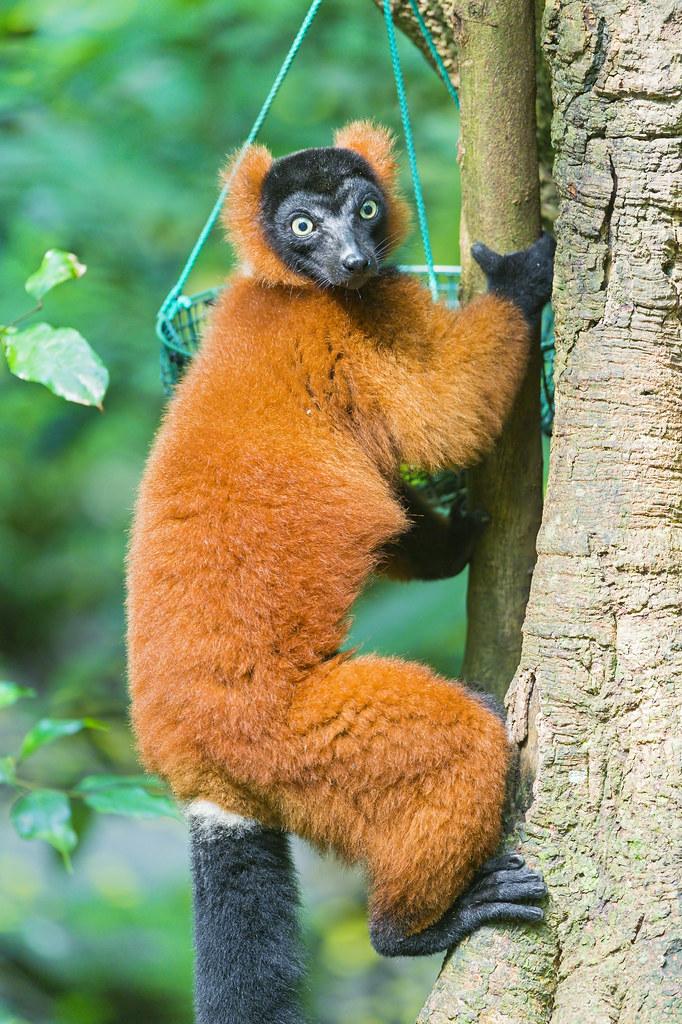 Red Ruffed Lemur On The Tree A Cute Red Ruffed Lemur On