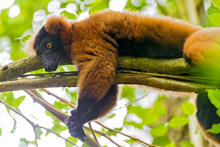 Tired lemur | by Tambako the Jaguar