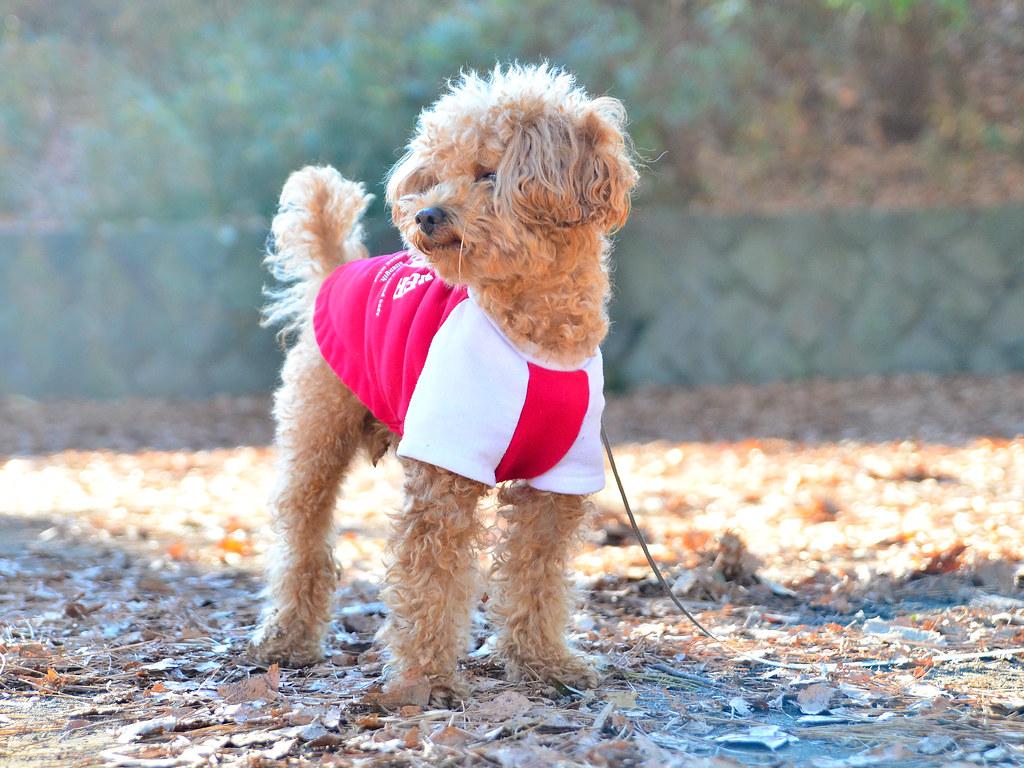 かわいい!トイ・プードル (cute toy poodle!) | この犬の名前は「コロ