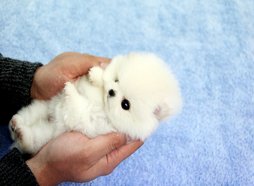 how big does pomeranian dogs get adorable teacup pomeranian name tiny angel tiny angel 4775