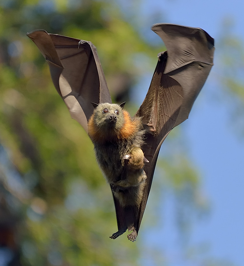 Bat Baby Boomers - Grey Headed Flying Fox. DSC_4189 | Flickr