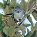 Blue-gray Gnatcatcher 20121022
