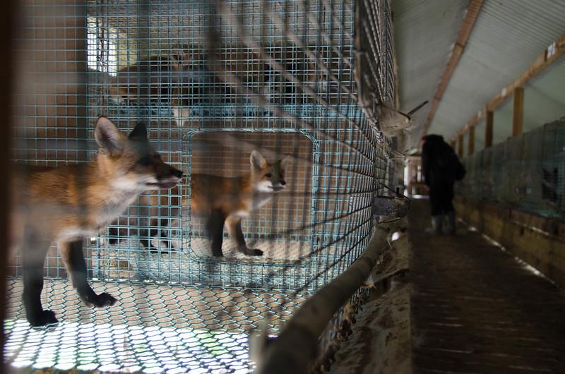 Frivillige dokumenterer forholdene i norske pelsfarmer