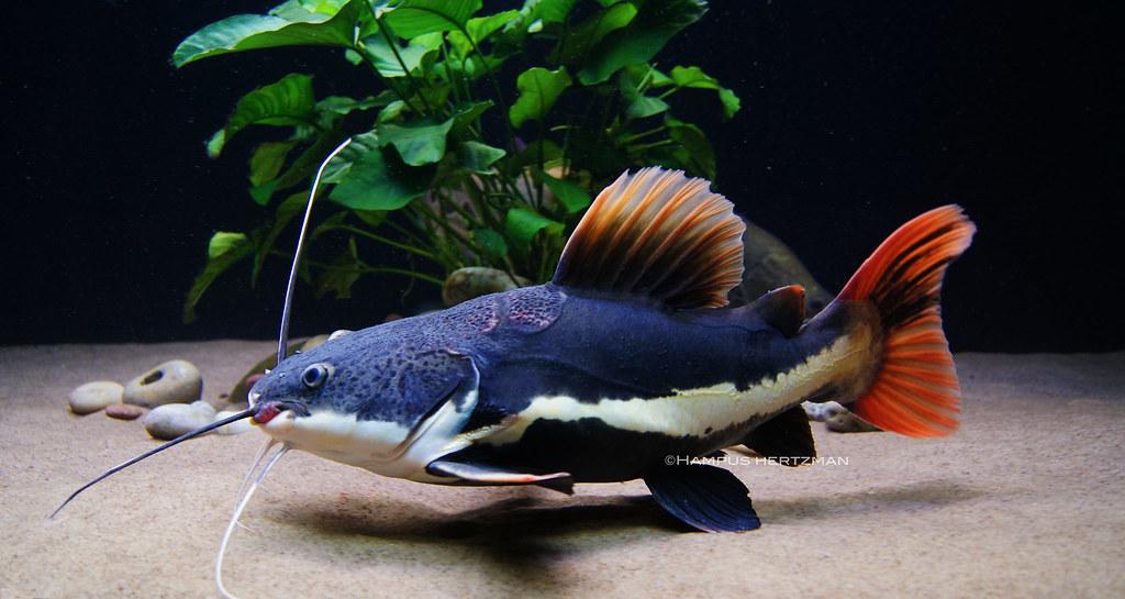 short body redtail catfish my new short body redtail