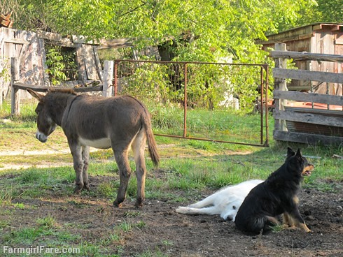 Daisy on donkey guard dog duty (15) - FarmgirlFare.com | by Farmgirl Susan