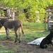 Daisy on donkey guard dog duty (15) - FarmgirlFare.com