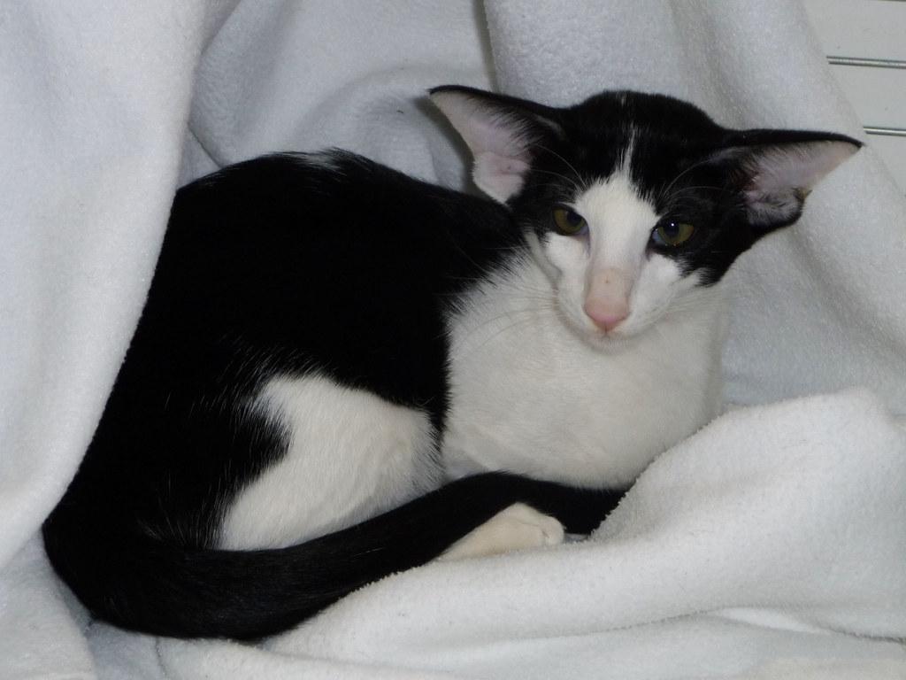 Black And White Oriental Kitten Ideal Cat Zebra Import