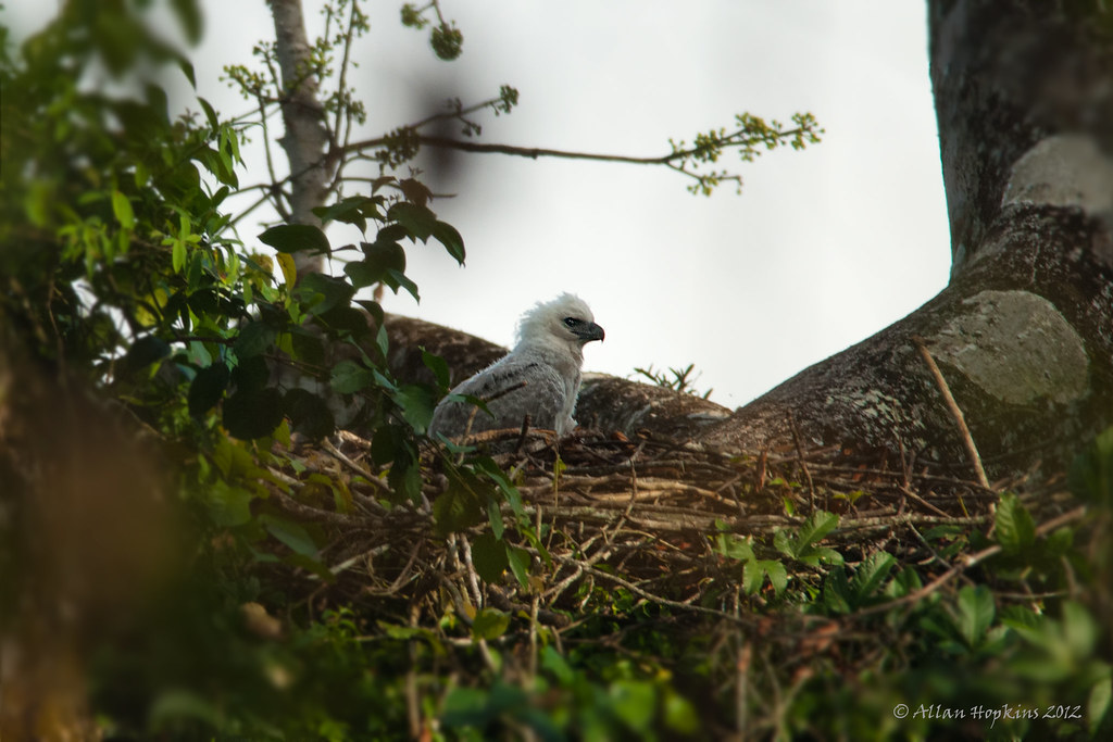 Harpy Eagle (Harpia harpyja) chick 1 | I spent much of a ...