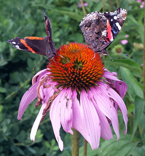 one butterfly on each side of the flower, the left with open wings and the right with closed wings